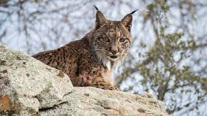 Dehesa: Forest of the Iberian Lynx